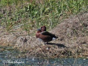 Ferruginous Duck Birding Portugal