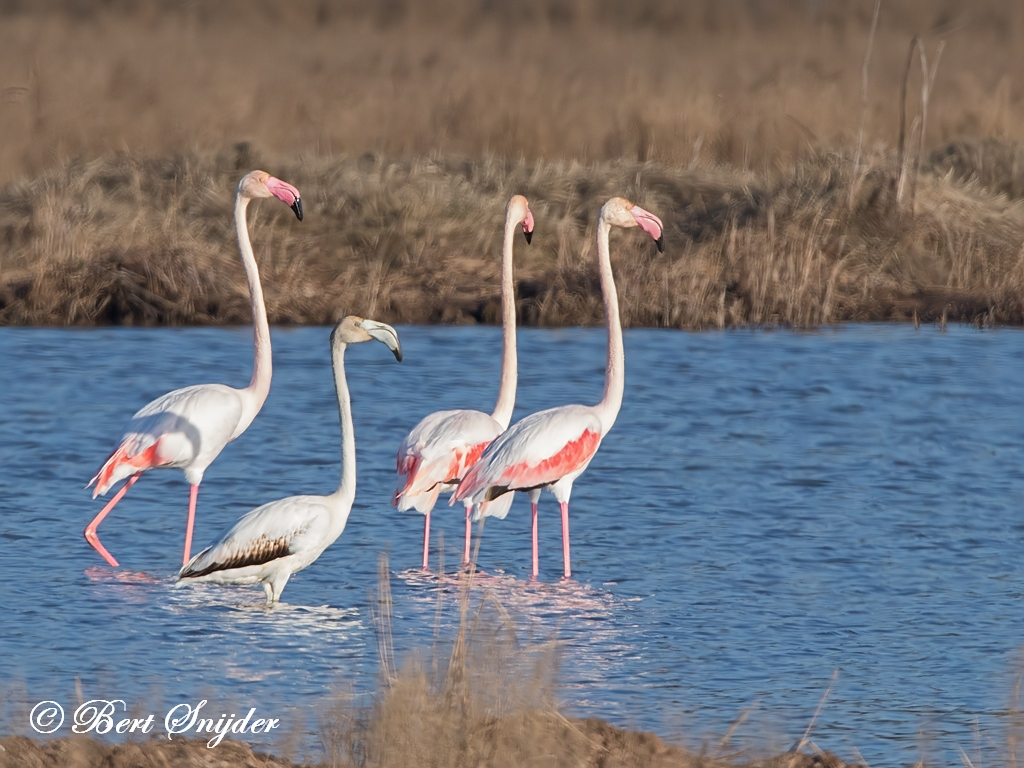 Flamingo Bird Hide BSP2 Portugal