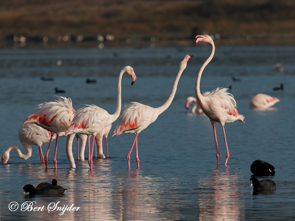 Flamingo Birding Portugal