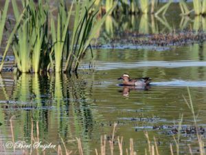 Garganey Birding Portugal