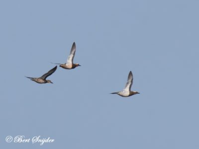 Garganey Birding Portugal