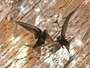 Gierzwaluw Birding Portugal