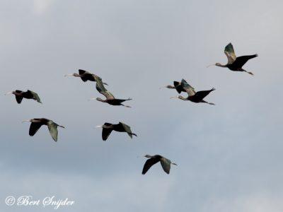 Glossy Ibis Birding Portugal