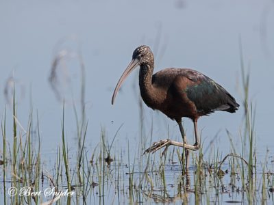 Glossy Ibis Bird Hide BSP2 Portugal