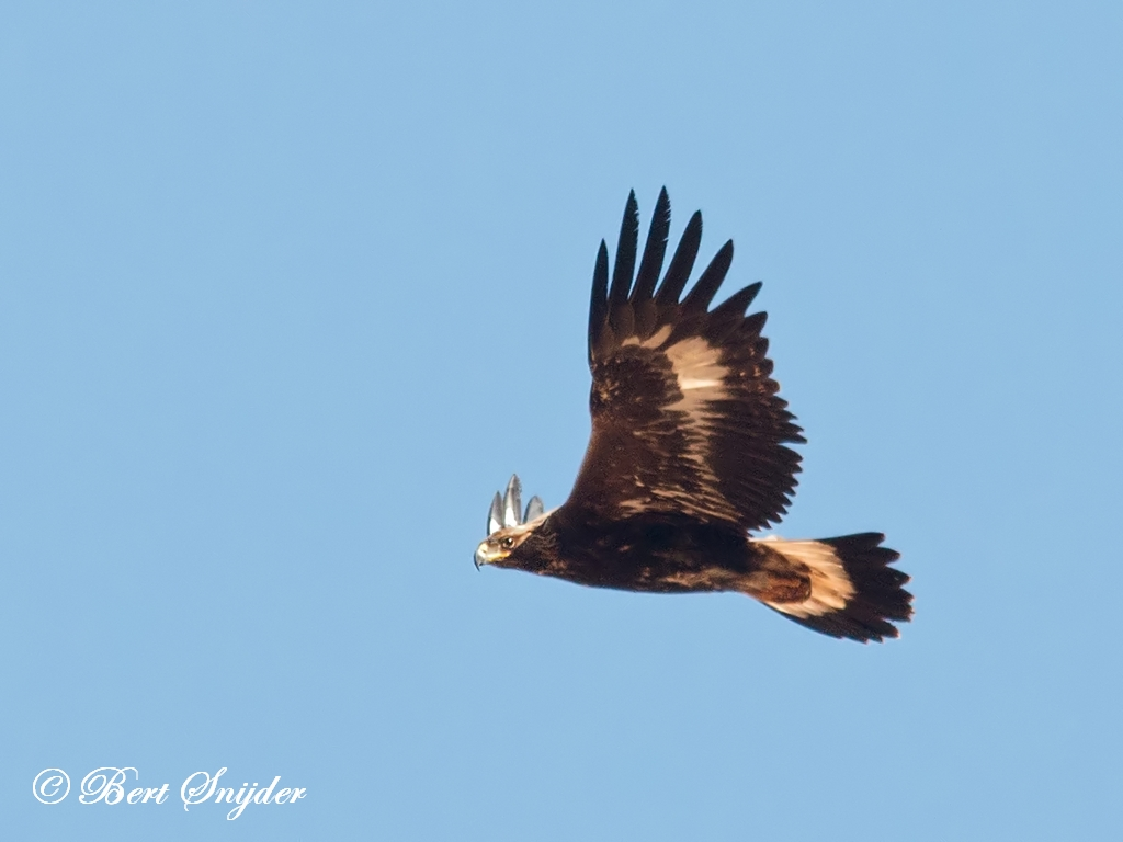 Golden Eagle Birding Portugal