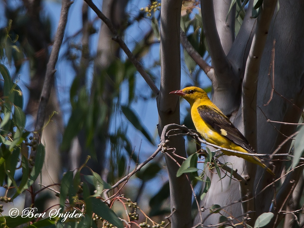 Golden Oriole Birding Portugal