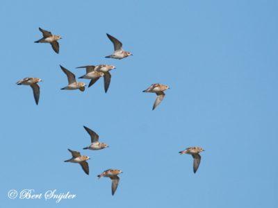 Golden Plover Birding Portugal