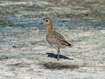 Golden Plover Birding Portugal