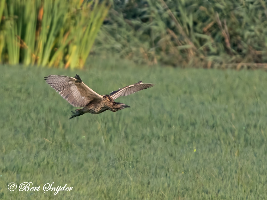 Great Bittern Birding Portugal