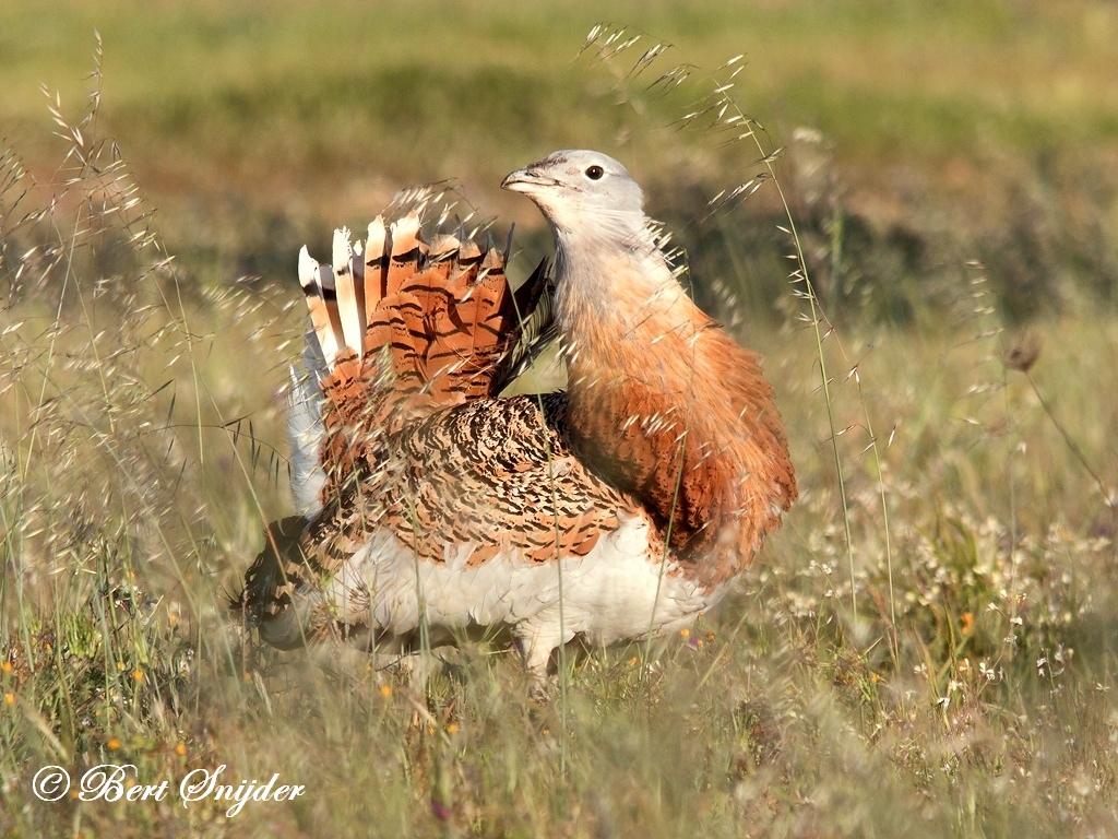Great Bustard Birding Holiday Portugal