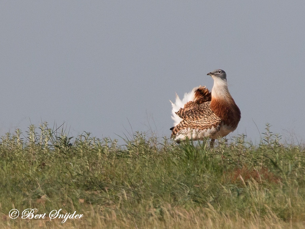Great Bustard Birdwatching Holiday Portugal
