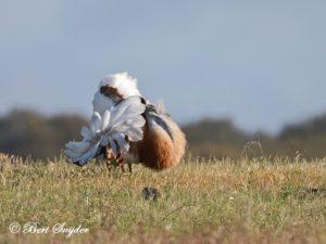 Great Bustard Bird Hide BSP7 Portugal