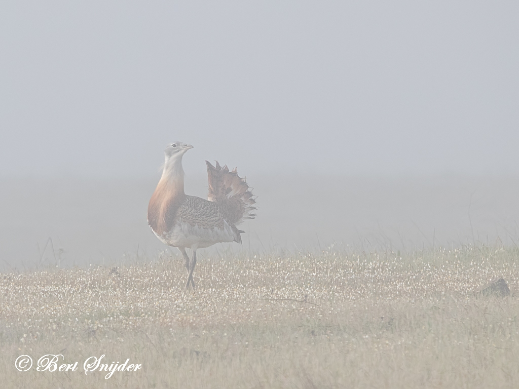 Great Bustard Bird Hide BSP7 Portugal