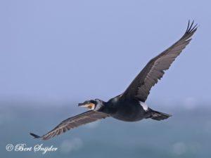 Great Cormorant Birding Portugal