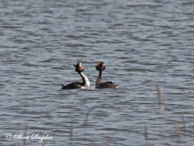 Great Crested Grebe Birding Portugal