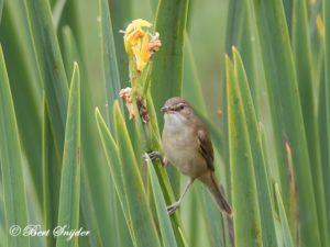 Great Reed Warbler Birding Portug