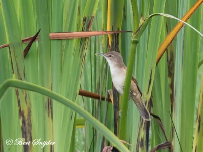 Great Reed Warbler Birding Portug