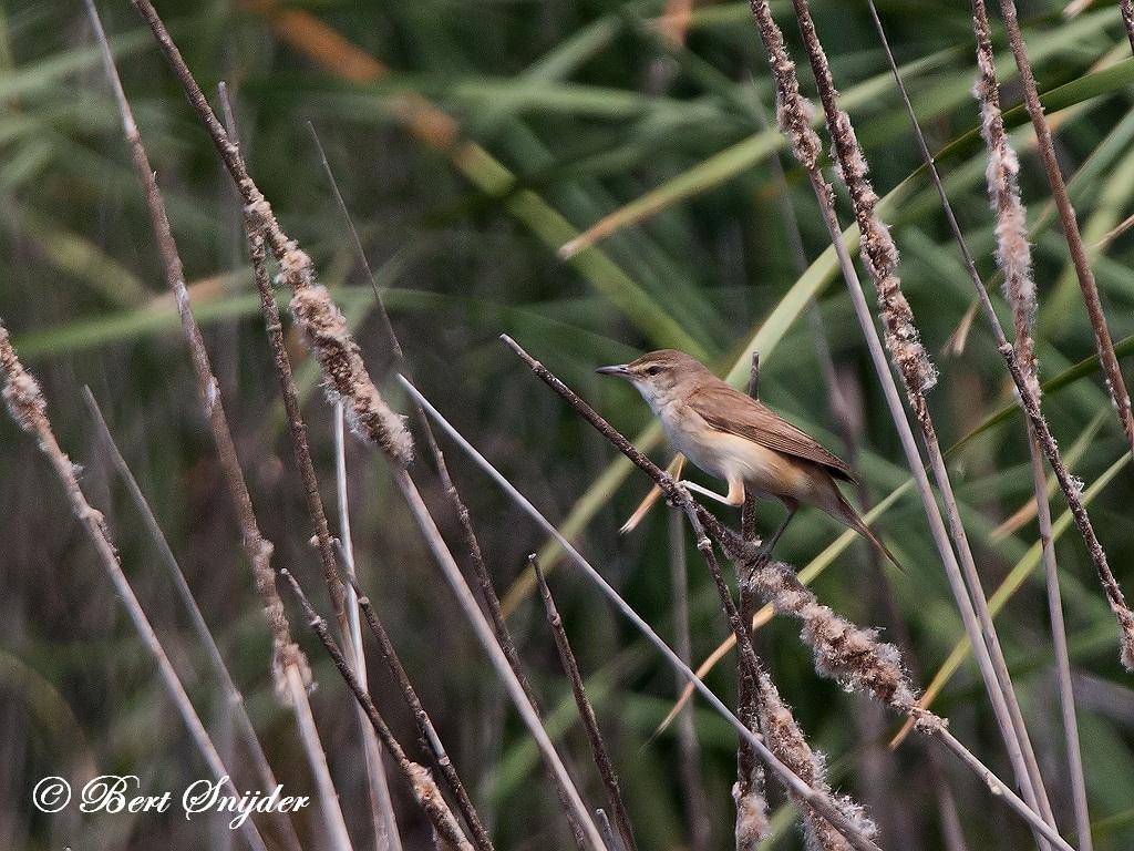 Great Reed Warbler Birding Portugal