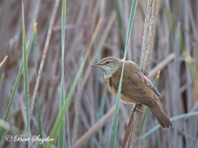 Great Reed Warbler Birding Portugal