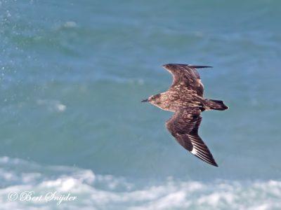 Great Skua Birding Portugal