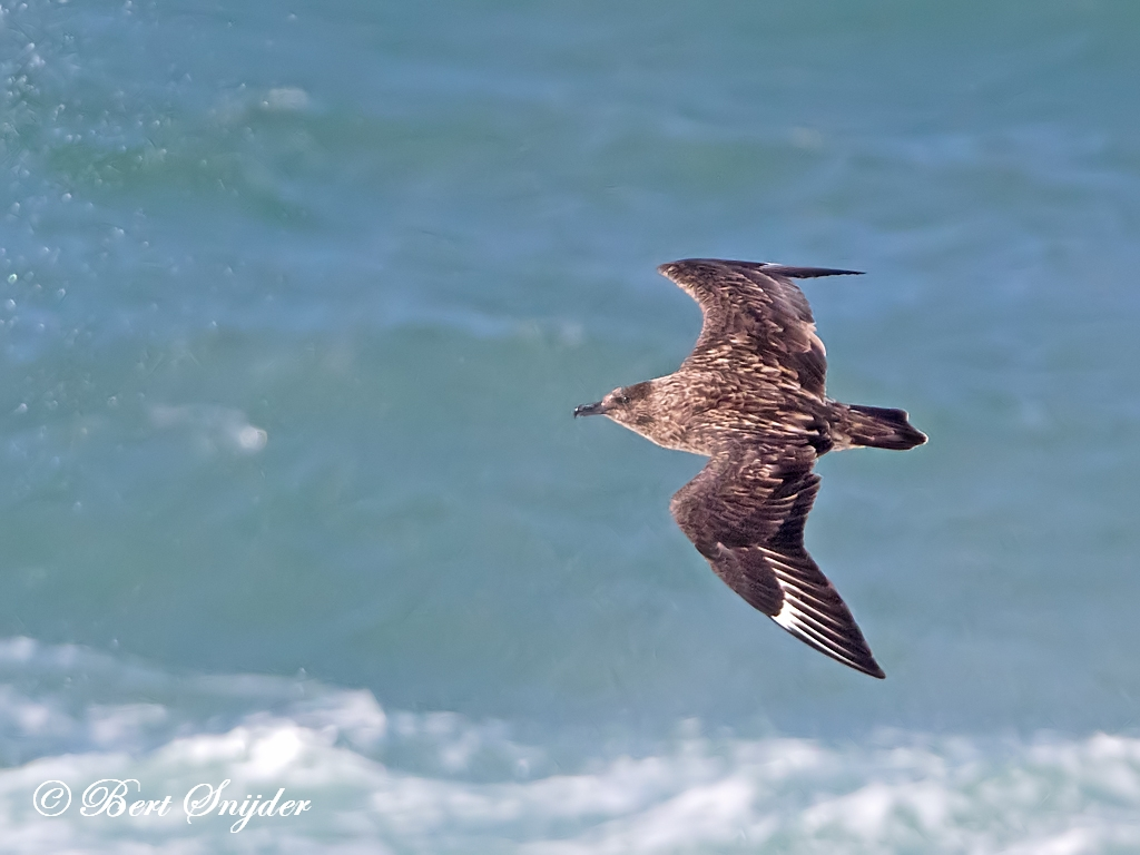 Great Skua Birding Portugal