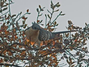 Great Spotted Cuckoo Birding Portugal