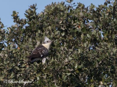 Great Spotted Cuckoo Bird Hide BSP7 Portugal