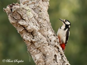 Great Spotted Woodpecker Birding Portugal