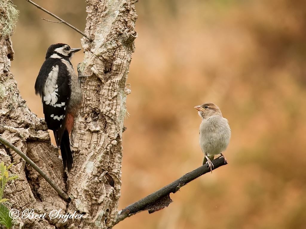 Great Spotted Woodpecker Birding Portugal