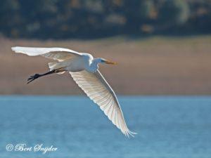 Great Egret Birding Portugal