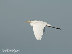 Great Egret Birding Portugal