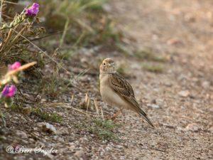 Greater Short-toed Lark Birding Portugal