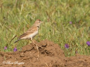 Greater Short-toed Lark Birding Portugal