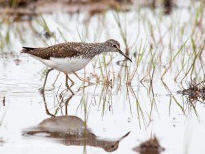 Green Sandpiper Birding Portugal