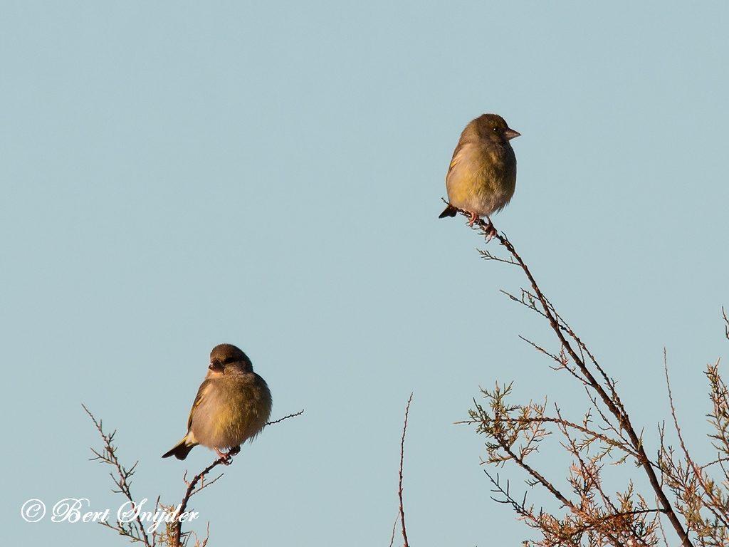 Greenfinch Bird Hide BSP3 Portugal