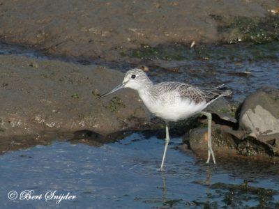 Greenshank Birding Portugal