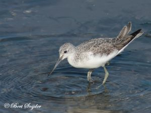 Greenshank Birding Portugal