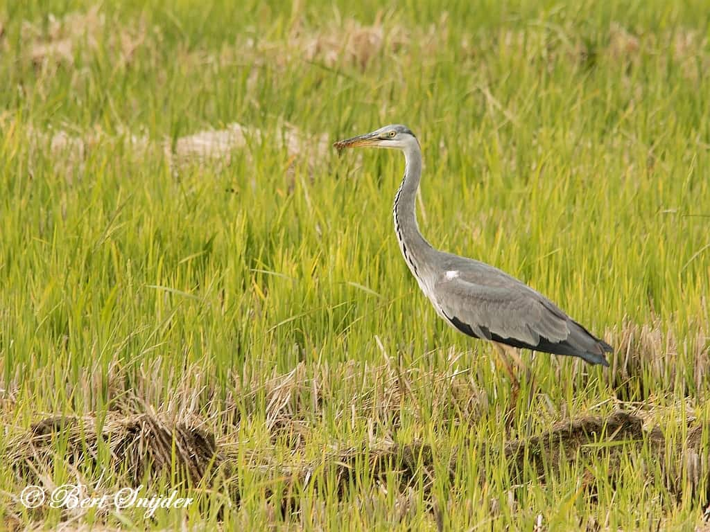 Grey Heron Birding Portugal