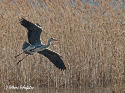 Grey Heron Birding Portugal