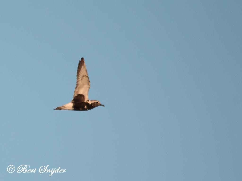 Grey Plover Birding Portugal