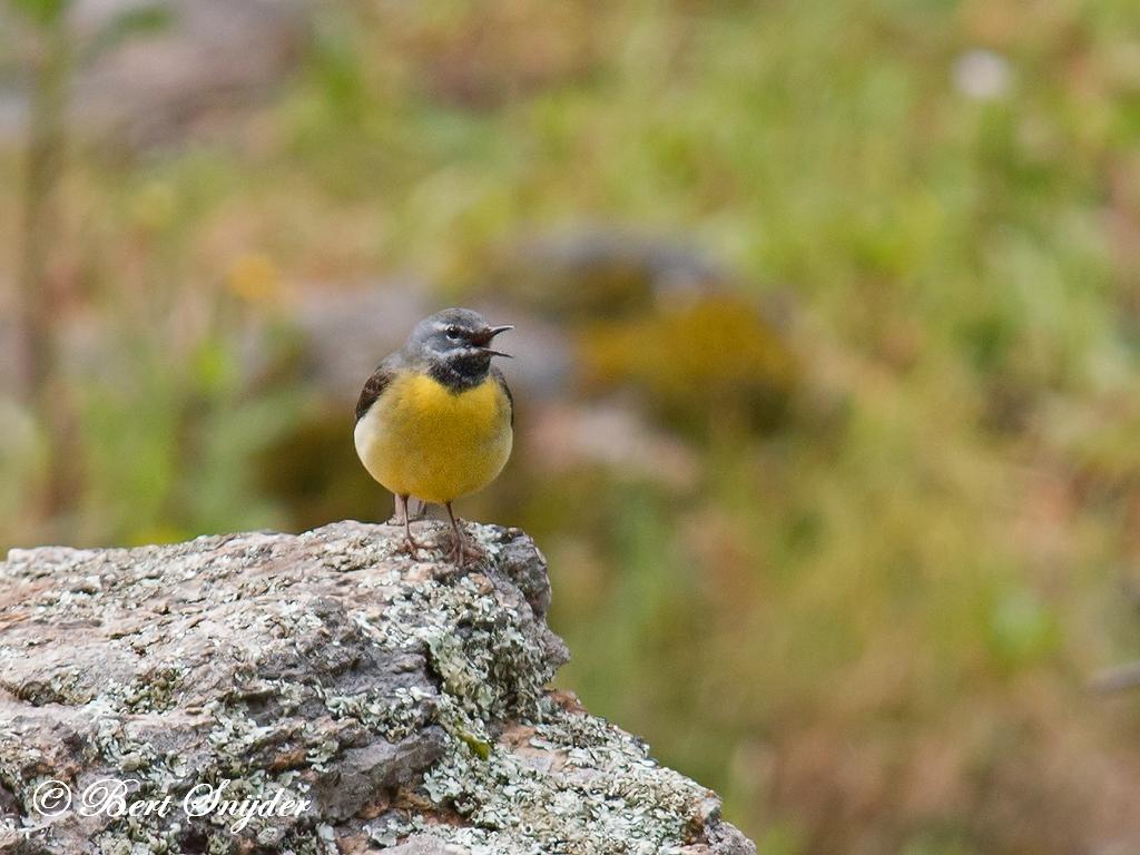 Grey Wagtail Birding Portugal