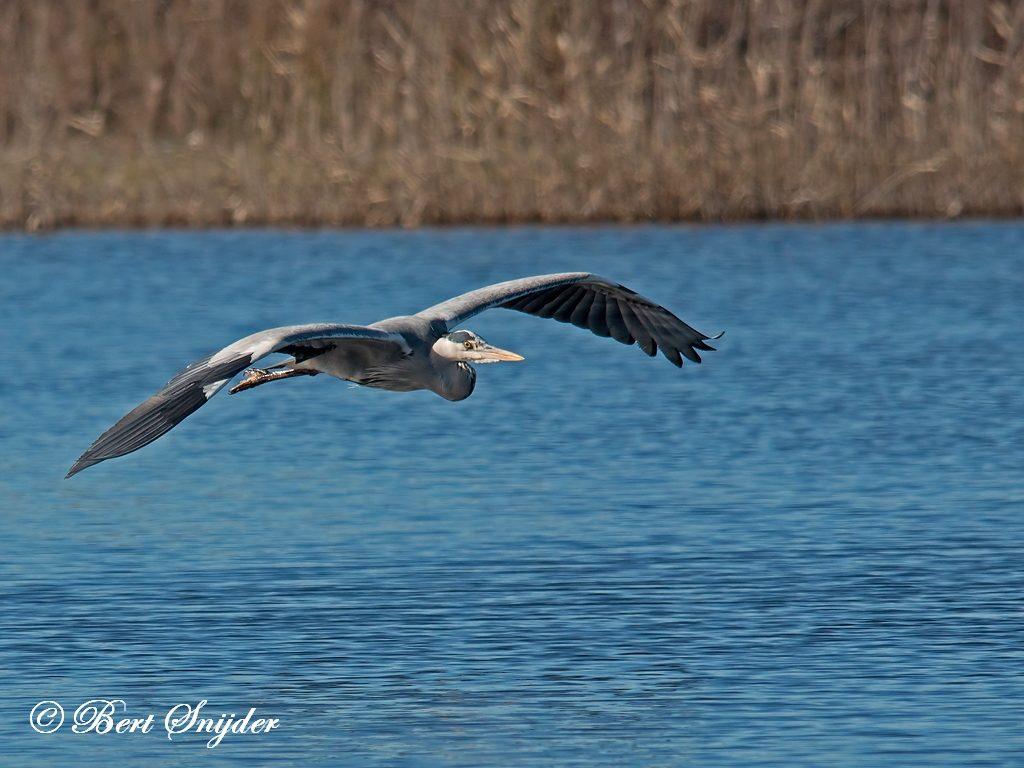 Grey Heron Bird Hide BSP3 Portugal