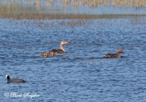 Greylag Goose Birding Portugal