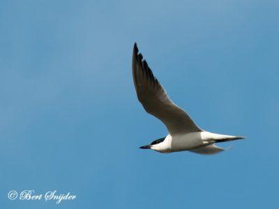 Gull-billed Tern Birding Portugal