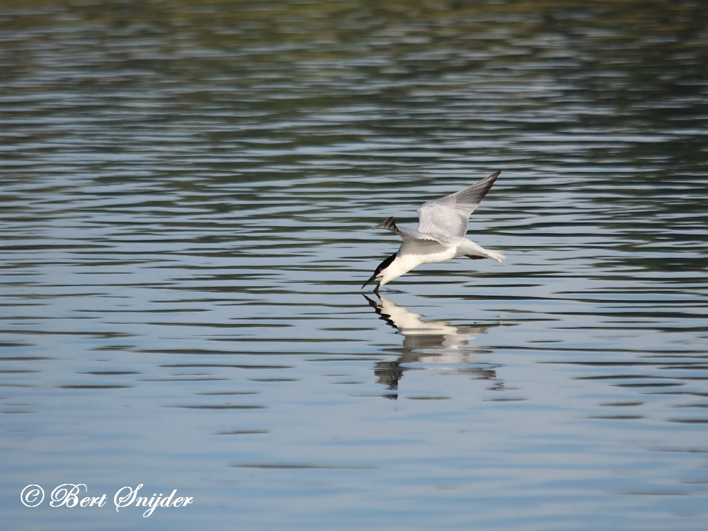 Gull-billed Tern Birding Portugal