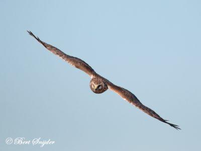 Hen Harrier Birding Portugal