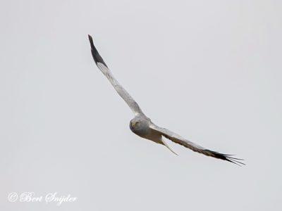 Hen Harrier Bird Hide BSP2 Portugal