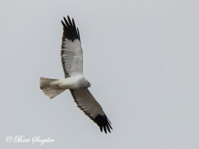 Hen Harrier Bird Hide BSP2 Portugal