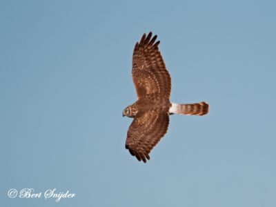 Hen Harrier Birding Portugal