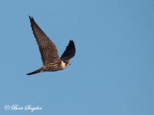 Hobby Birding Portugal